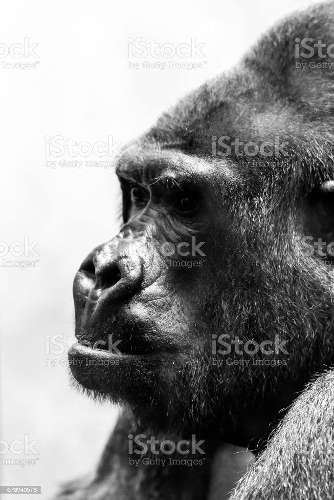 Côté portrait gorille photo libre de droits