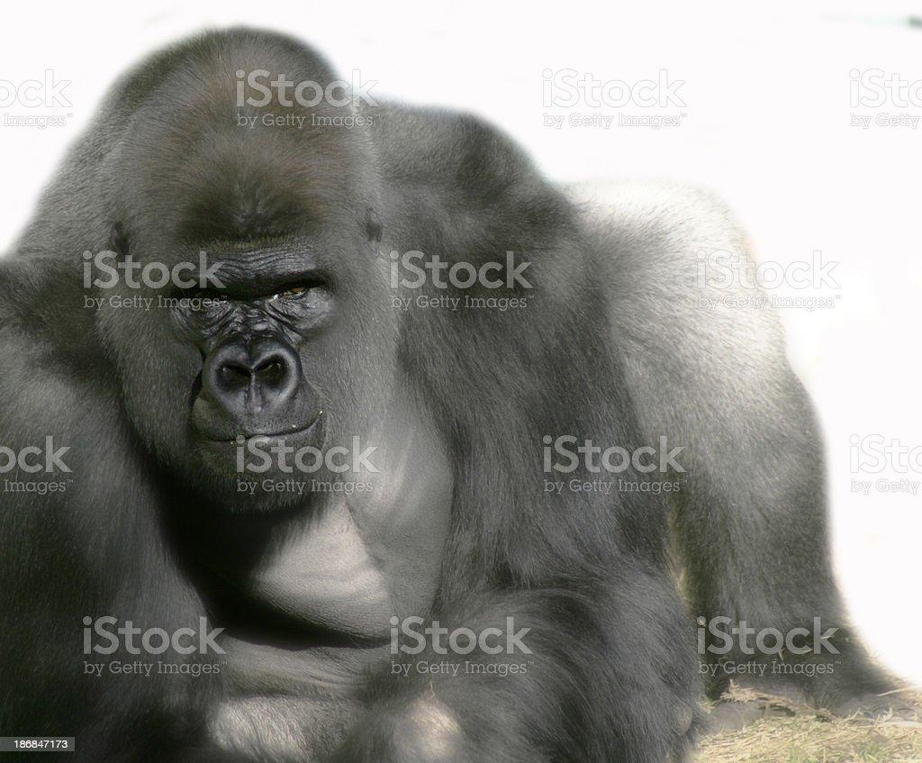Gorilla Posing royalty-free stock photo