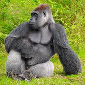 Male silverback lowland gorilla.