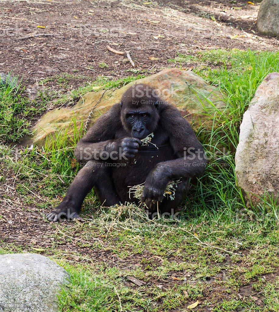 Wie groß ist ein Gorilla dick