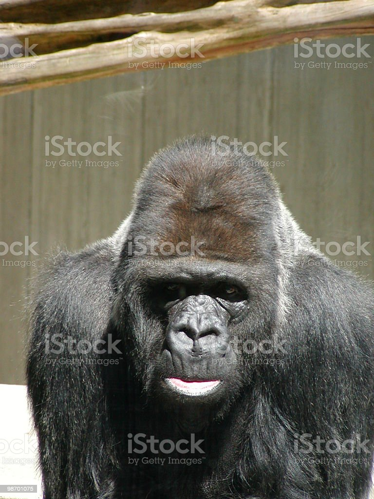Gorilla Showing Lips royalty-free stock photo