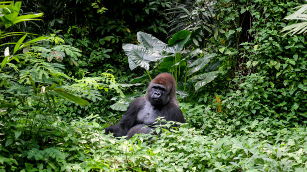gorilla silver mountain at the tropical jungle - carnivora stock photos and pictures