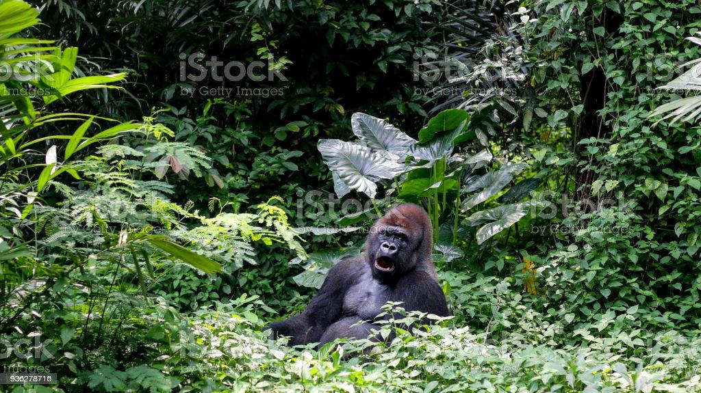 Gorila de montaña de plata en la Selva Tropical - foto de stock