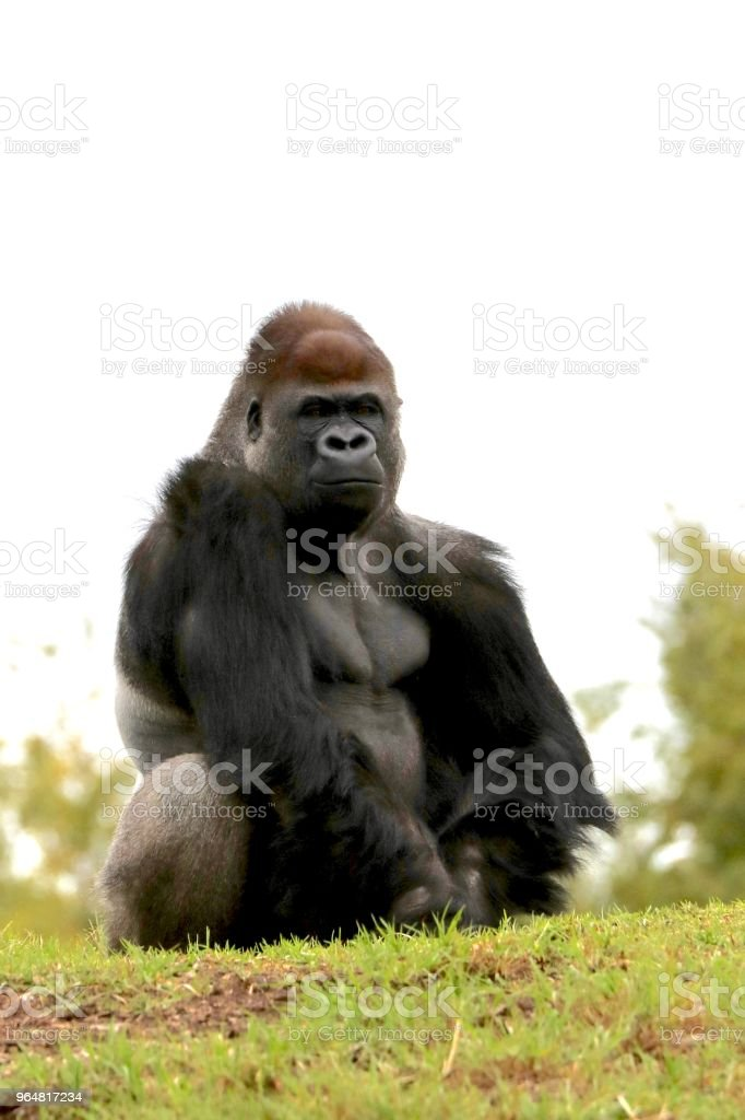 Gorilla sitting on a hill royalty-free stock photo