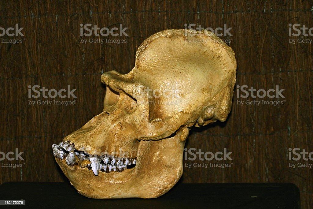 Gorilla Skull stock photo