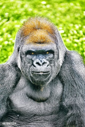 Gorilla Wisdom in its natural habitat in the wild