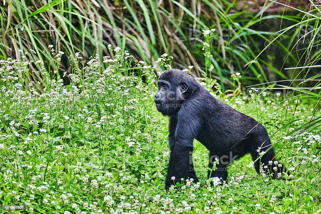 Gorilla Wisdom. Gorilla Wisdom in its natural habitat in the wild 2015 Stock Photo