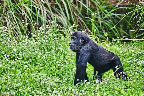 Gorilla Wisdom Stock Photo - Download Image Now