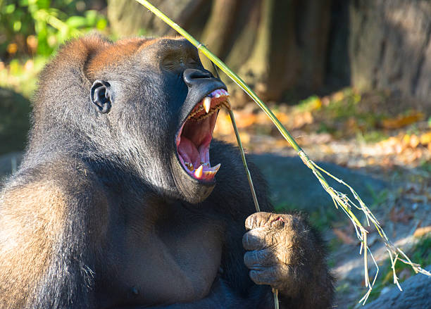 Gorilla with Wide Open Mouth stock photo