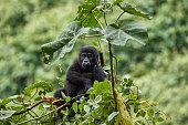 Gorilla young in Bwindi National Park, Uganda