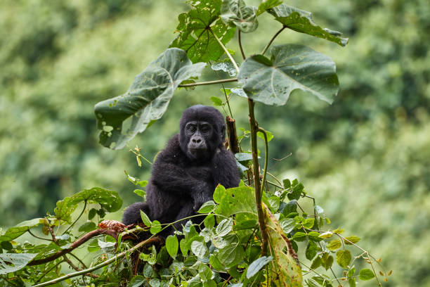 Gorilla young in Bwindi National Park stock photo