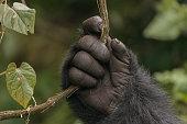 A mountain gorilla holds a vine in the jungle of Rwanda