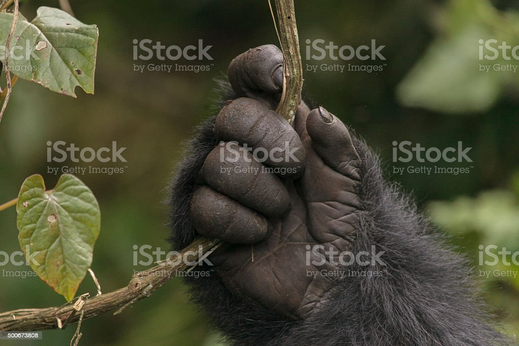 Gorilla's Hand stock photo