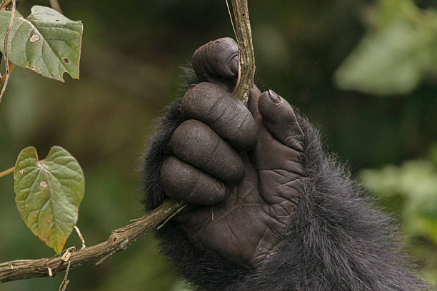 gorilla's hand - gorilla stock photos and pictures