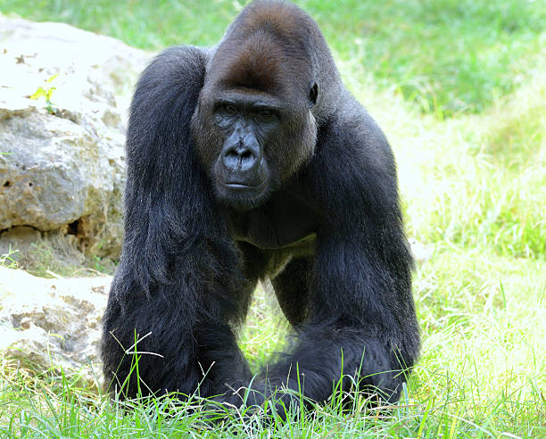 Gorilla's male stock photo