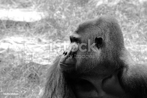 Gorillas  the largest extant genus of primates by size, that inhabit the forests of central Africa.