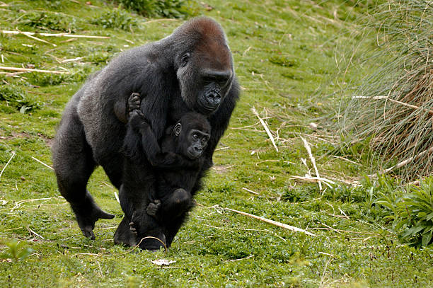 Gorilla Walking Stock Photos, Pictures & Royalty-Free Images - iStock