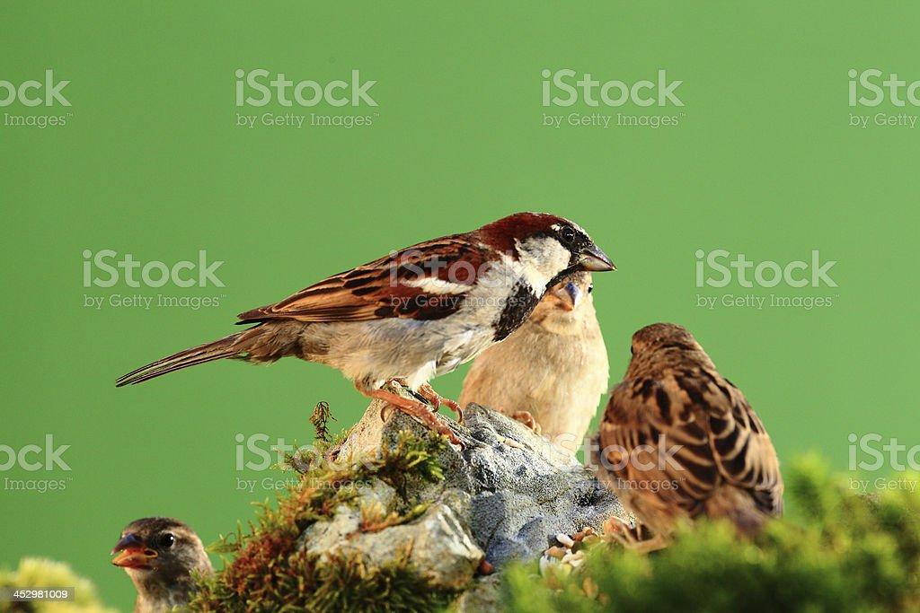 gorriones royalty-free stock photo