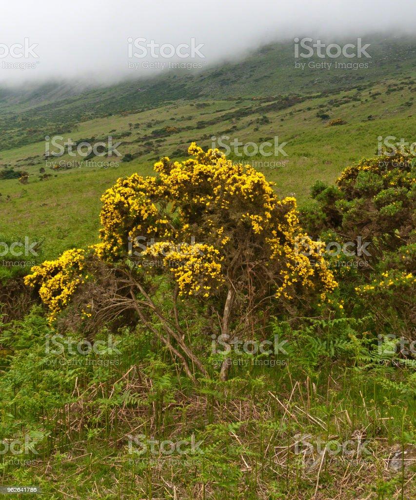 Gorse against the slopes of Slieve Foy stock photo