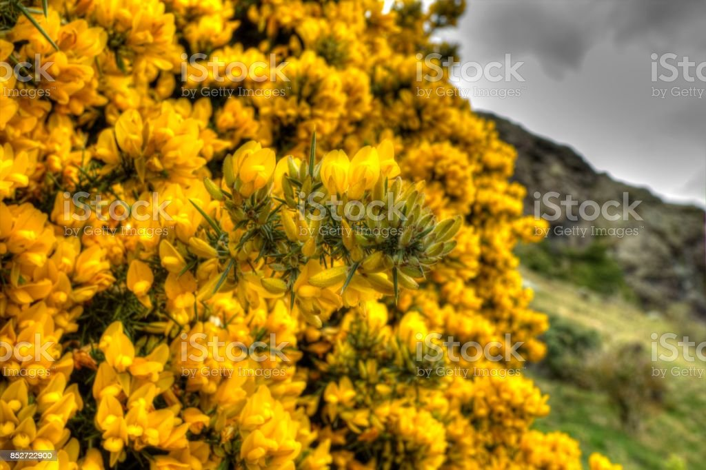 Gorse Bush stock photo