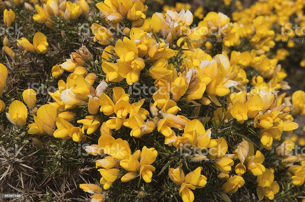 Gorse flowers royalty-free stock photo