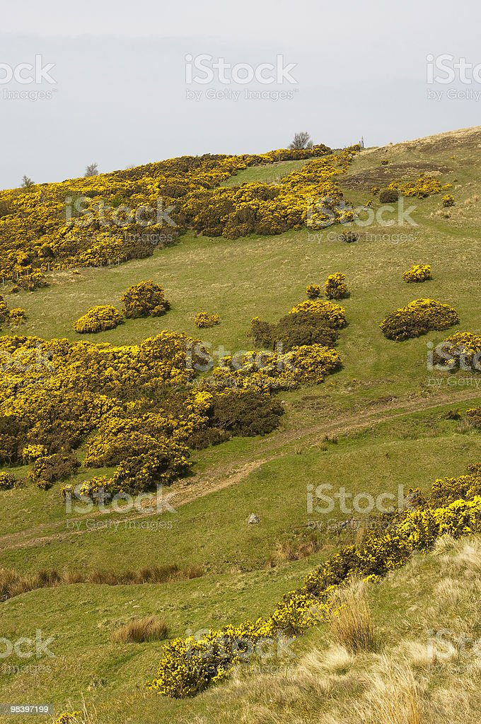 Gorse on hill royalty-free stock photo