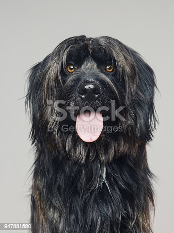 Close up portrait of cute big dog gos d'atura against gray background. Dark grey catalan sheepdog looking at camera and sticking out the tongue. Sharp focus on eyes. Vertical studio portrait from DSLR camera.