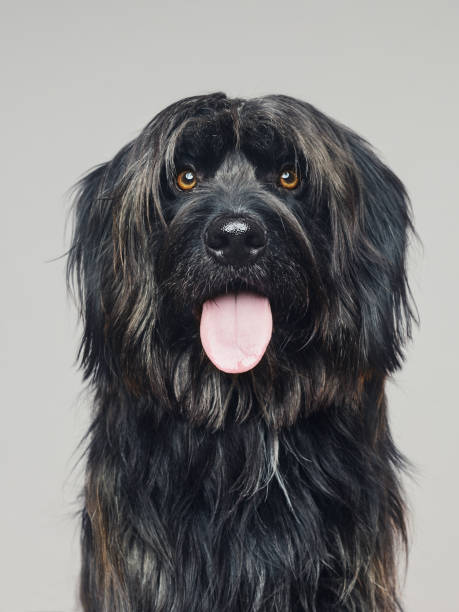 gos d'atura dog studio portrait looking at camera - animal head stock pictures, royalty-free photos & images