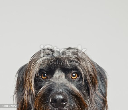 Close up portrait of cute big gos d'atura against gray background. Dark grey catalan sheepdog looking at camera. Sharp focus on eyes. XXX studio portrait from DSLR camera.