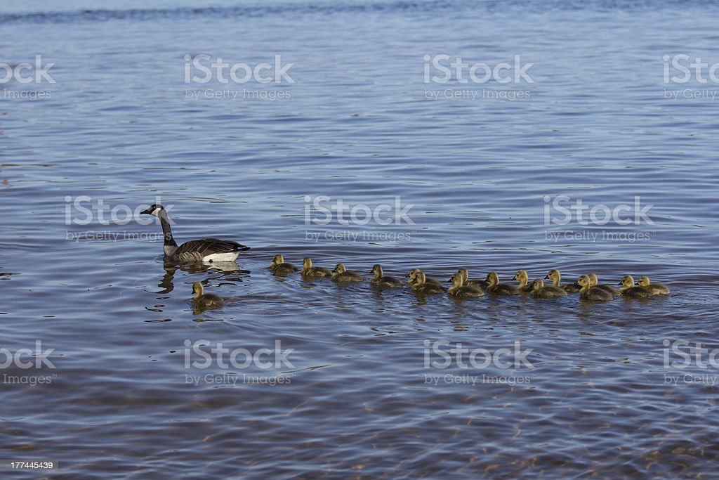 Goselings Swimming in a Row stock photo