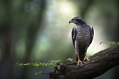 A Goshawk is perched in ancient woodland as the morning sun cuts through the tree canopy.