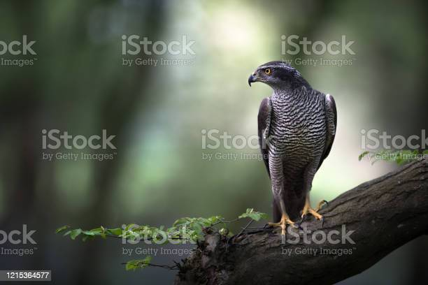 Photo of Goshawk perched in ancient woodland as the morning light cuts through the canopy.