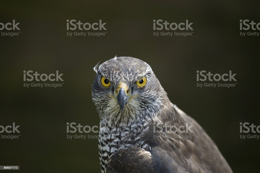 goshawk royalty-free stock photo