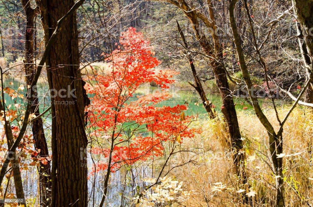 Goshiki-numa in Autumn, Urabandai, Fukushima, Japan - Ruri-numa with autumnal tints stock photo