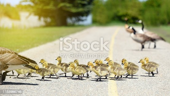 Gosling chicks crossing a bike path as they follow their mother