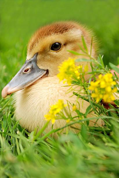 gosling near yellow flowers stock photo