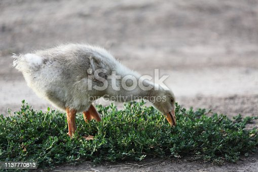Goslings are browsing on the pasture