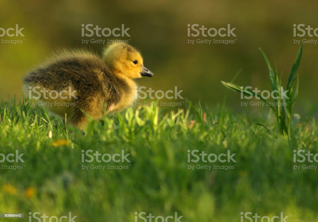 Gosling royalty-free stock photo