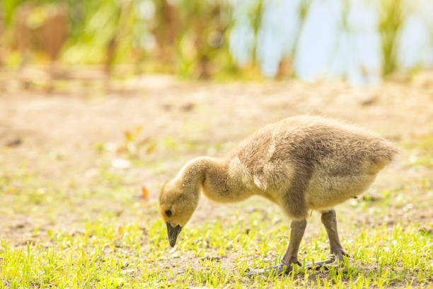 Gosling Walking Searching For Food A gosling waking on a grass path searching for food. sdominick stock pictures, royalty-free photos & images