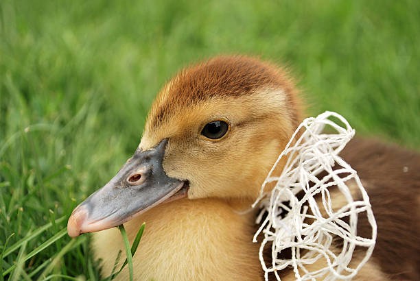 gosling with a white bow stock photo