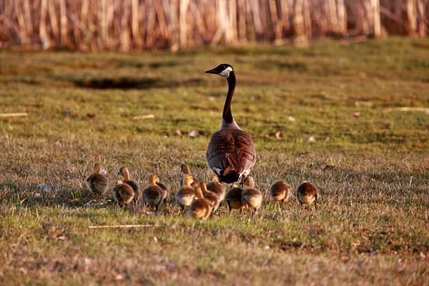 Goslings following Canada Goose parent stock photo