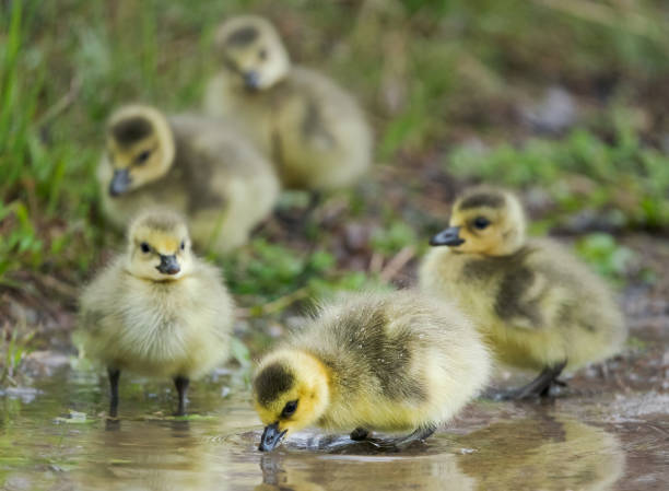 Goslings in a Puddle stock photo