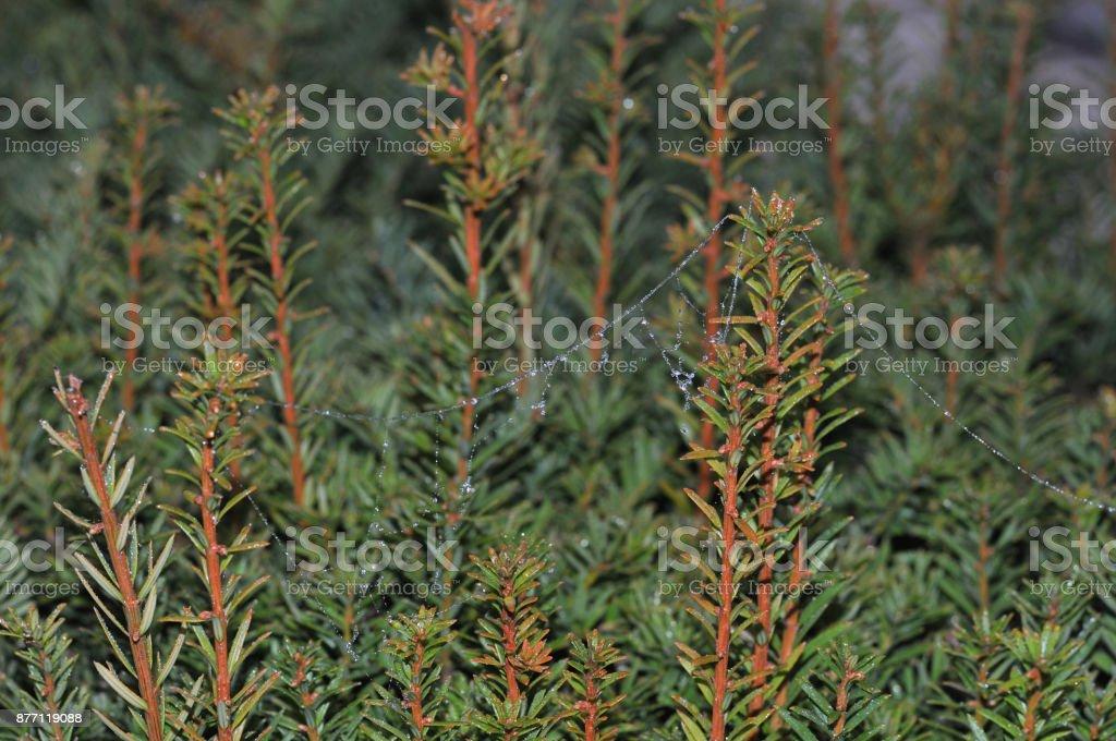 gossamer at yew hedge stock photo