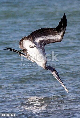 Brown Pelican about to catch its dinner.