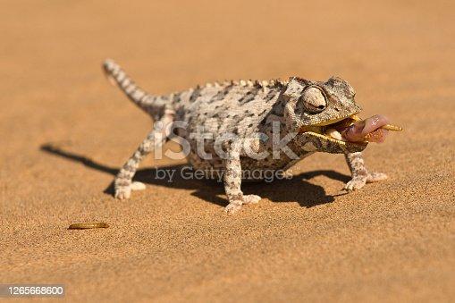 Namaqua Chameleon (chamaeleo namaquensis) wraps its tonge around a grub worm, Namib desert dune, Namibia, Africa