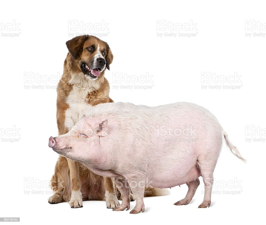 Gottingen minipig and dog standing in front of white background royalty-free stock photo