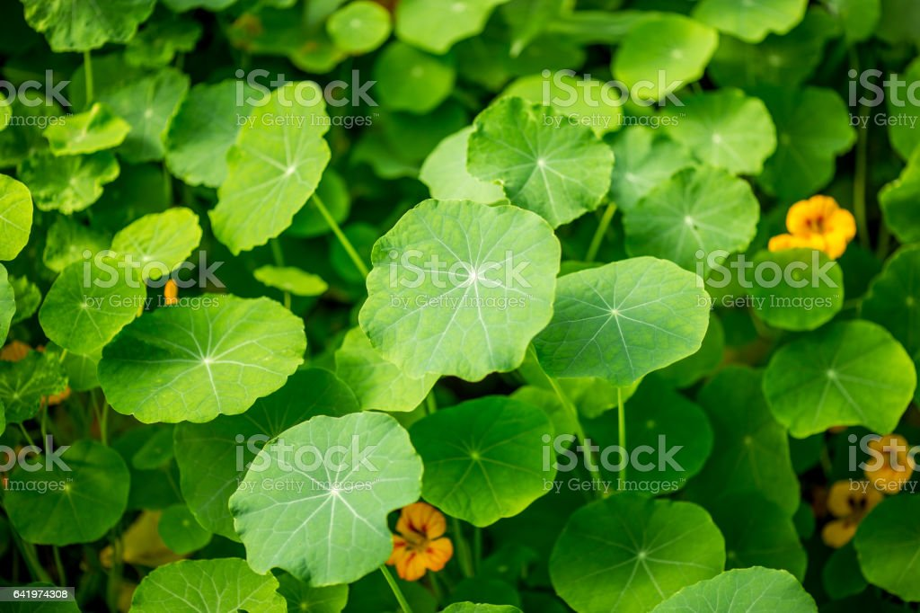 Gotu kola, Asiatic pennywort, green leaf background stock photo