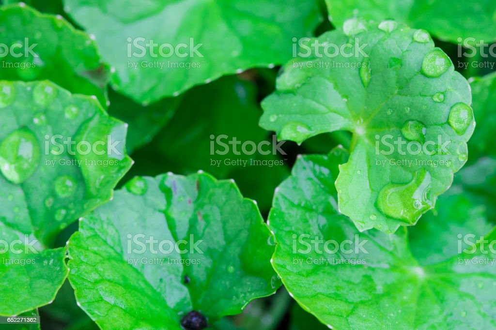 gotu kola leaved stock photo