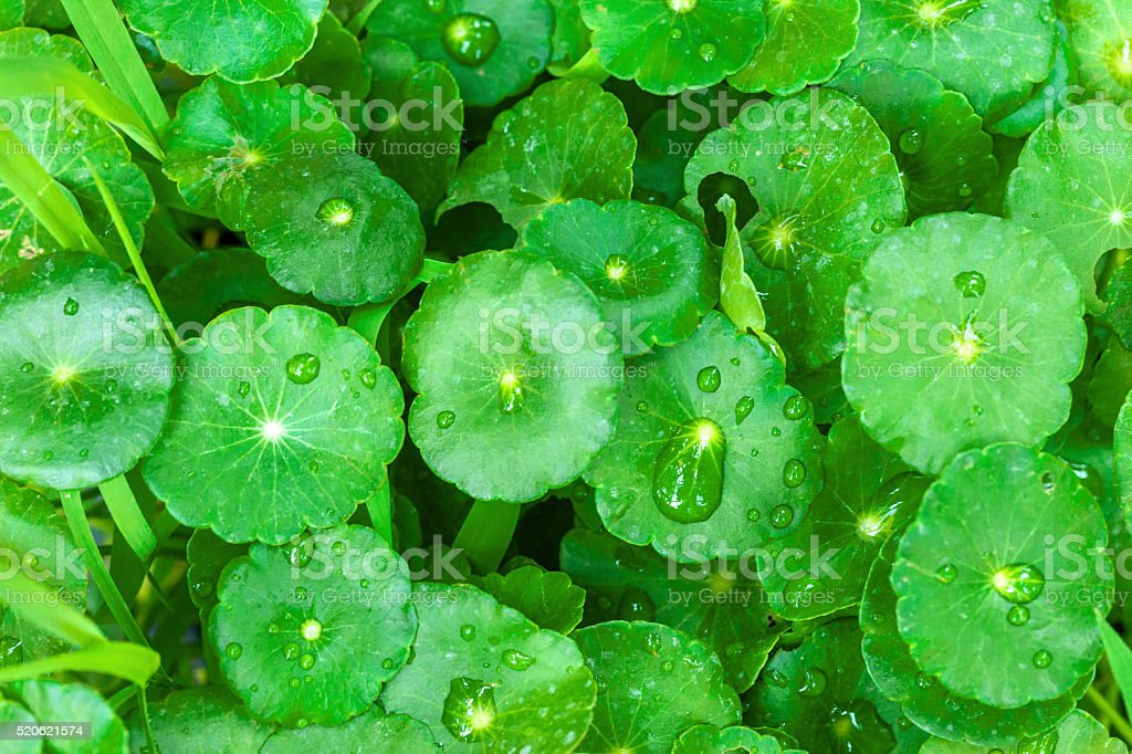 gotu kola leaves with water drops stock photo