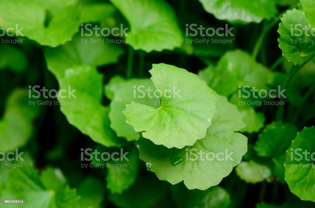 Gotu Kola oder Centella Asiatica wird häufig in der traditionellen Medizin verwendet. – Foto